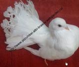 Porumbei nunta Porumbei nunta